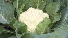 Как вырастить 3 урожая цветной капусты за один сезон