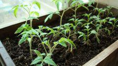 Как выращивать рассаду томатов в ящиках
