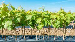 Как и когда сажать виноград весной