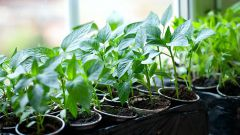 Почему не прорастают семена перца