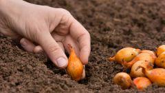 Когда и на какую глубину высаживают лук севок весной
