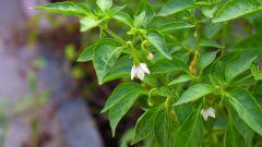 Почему у рассады перцев опадают нижние листья
