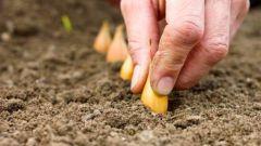 Где посадить лук на огороде