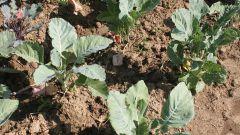 Когда сажать капусту в открытый грунт в 2018 году