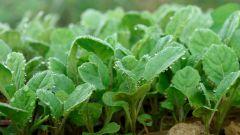 Где лучше растить рассаду капусты