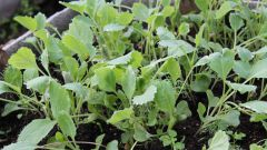 Как вырастить рассаду белокочанной капусты