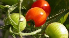 Чем подкормить рассаду помидоров, чтобы была толстенькой