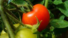 Когда сажать рассаду помидоров в открытый грунт в 2018 году по Лунному календарю