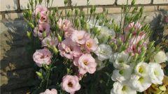 Когда и как высаживают рассаду эустомы в цветник
