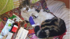Как вылечить нагноение лапы у кота