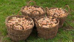 Нужно ли поливать картошку после посадки