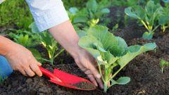Когда сажать капусту в открытый грунт в 2018 году на приусадебном участке