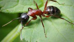 Как избавиться  от муравьев народными средствами