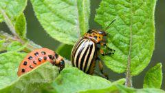 Как бороться с колорадским жуком на картошке: 7 народных средств