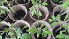 Чем подкормить рассаду помидоров для роста