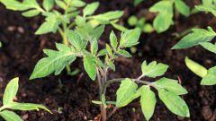 Чем и как подкормить рассаду