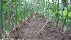 На каком расстоянии сажать лук севок весной