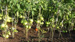 Когда высаживать рассаду томатов в грунт в 2018 году