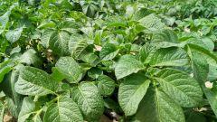 Что делать, если желтеет картофельная ботва