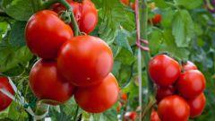 Как эффективно и экономно подкормить помидоры