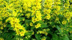 Вербейник: посадка и уход за растением