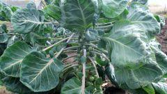 Как выращивать капусту брюссельскую