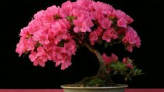 Как выращивать азалию в домашних условиях