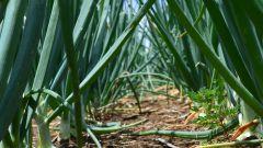 Как полить лук солью от луковой мухи