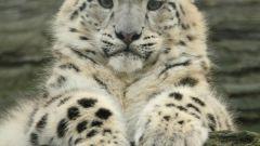 Животное ирбис: описание, ареал обитания