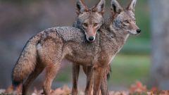 Койот - луговой волк, обитающий в Америке