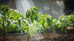 Как правильно и часто поливать помидоры в открытом грунте