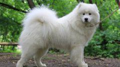 Порода собак самоед: описание, характеристики