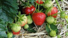 Как поливать клубнику во время плодоношения