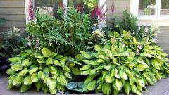 Хоста – условия выращивания и ухода, советы