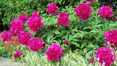 Как заставить пионы пышно цвести