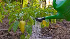 Как правильно поливать перец в теплице