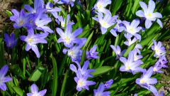 Хионодокса: правила посадки и ухода за цветами