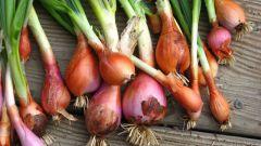 Лучшие сорта лука-шалота для выращивания на огороде