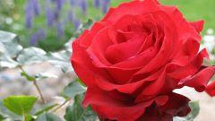 Роза «Гранд Гала»: правила посадки, обрезки и выращивания