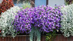 Какие цветы можно выращивать на балконе городской квартиры