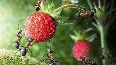 Как избавиться от муравьев на грядке