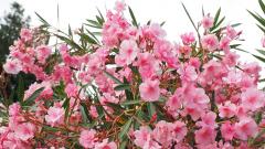 Ядовитое растение олеандр: уход и выращивание