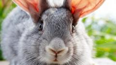 Лучшие породы кроликов-великанов