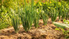 Можно ли сажать лук в июне