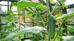 Чем подкармливать огурцы в теплице для получения высокого урожая