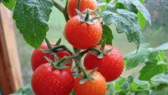 Как нужно правильно поливать помидоры
