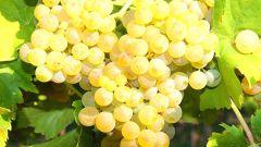 Сорт винограда «Виорика»: описание, характеристика, особенности выращивания