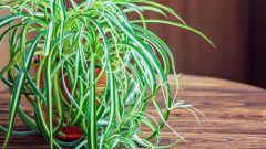 Хлорофитум хохлатый: описание, особенности выращивания и ухода