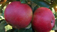 Особенности посадки и ухода за яблоней сорта