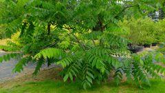 Выращивание маньчжурского ореха: посадка и уход